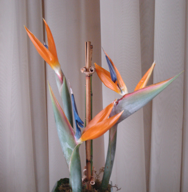 Birds of Paradise 5 stems/bunch