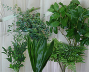 Ivy wholesale, ivy, discount, greenery, cheap, cut, fresh