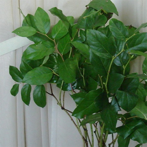 Salal (Lemon Leaf)