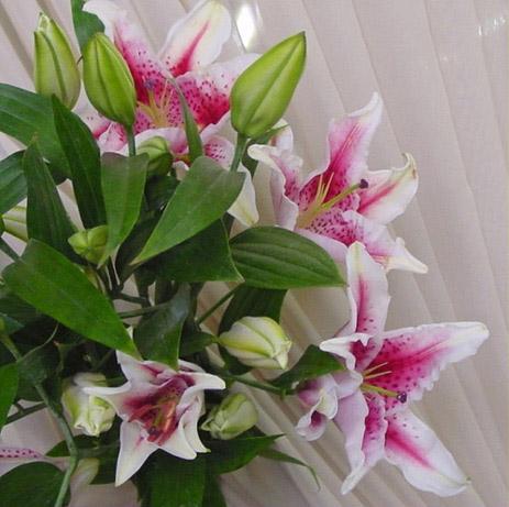Pink Oriental Stargazer Lilies